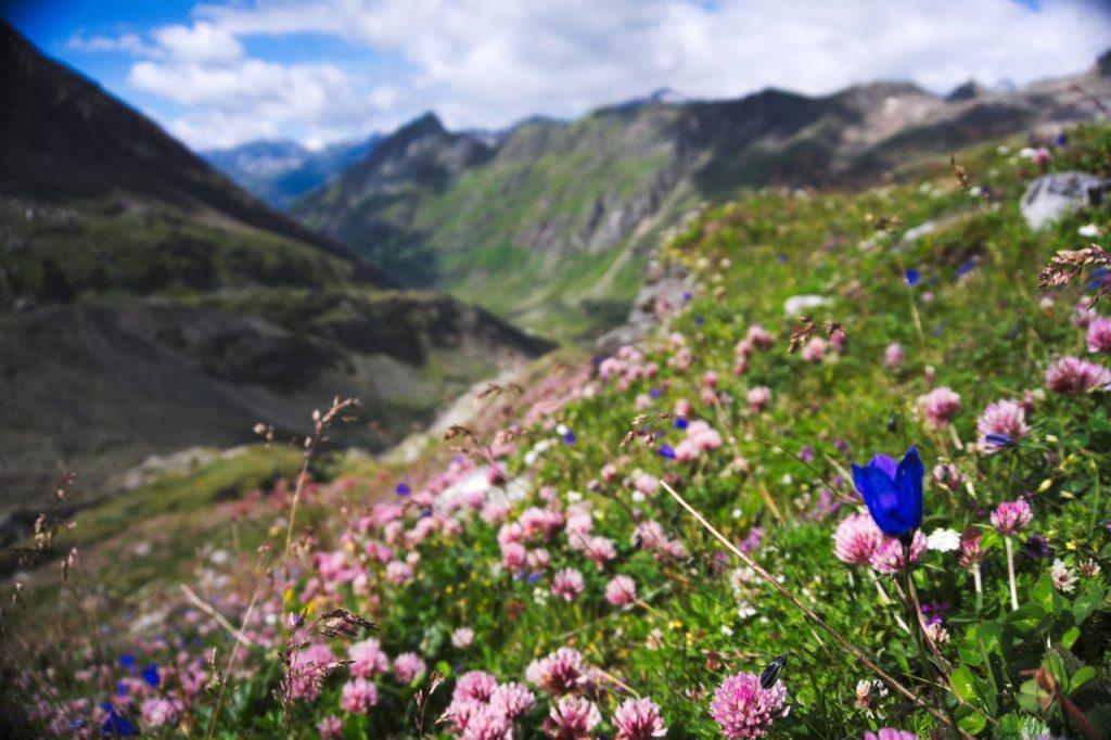 Blumenpracht entlang des Aufstiegs zum Defreggenhaus