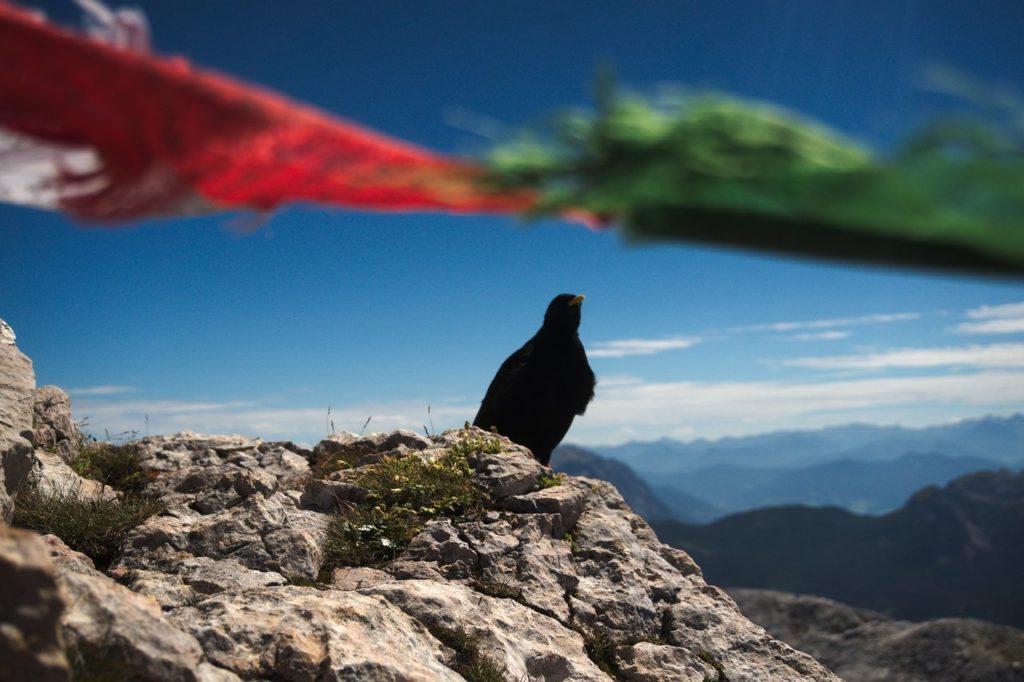 Bergdohle am Gipfel des Hohen Göll