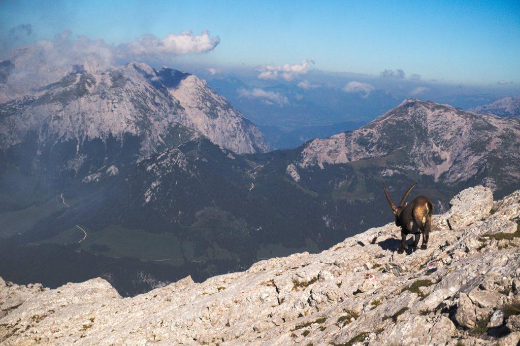 Steinbock im Abstieg am Grat zum Hocheck
