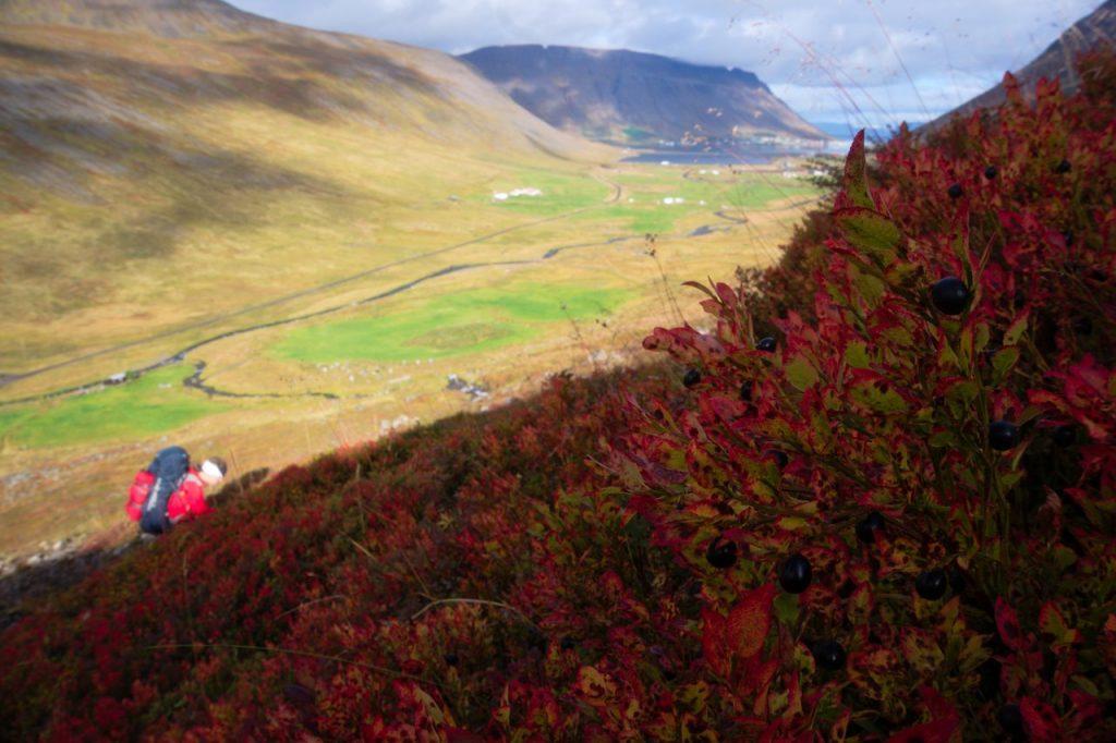 Heidelbeerernte am Weg zurück nach Ísafjörður