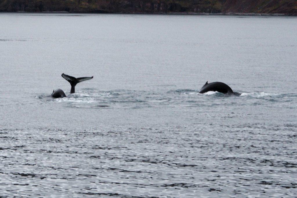 Wale beim Abtauchen im Eyjafjörður