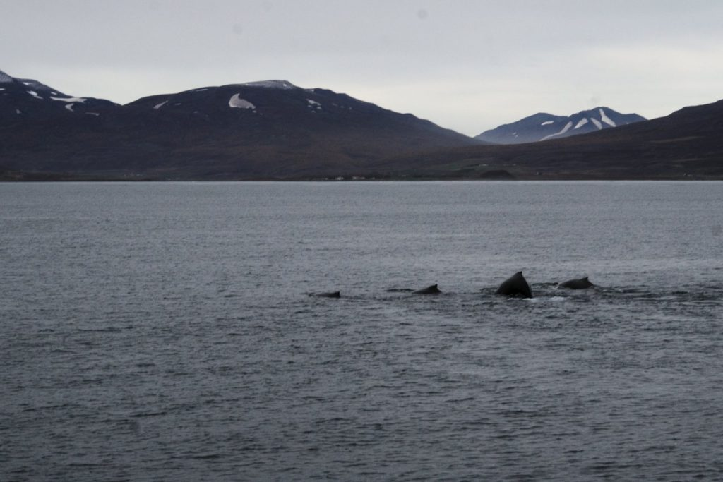 Wale beim Luft holen im Eyjafjörður
