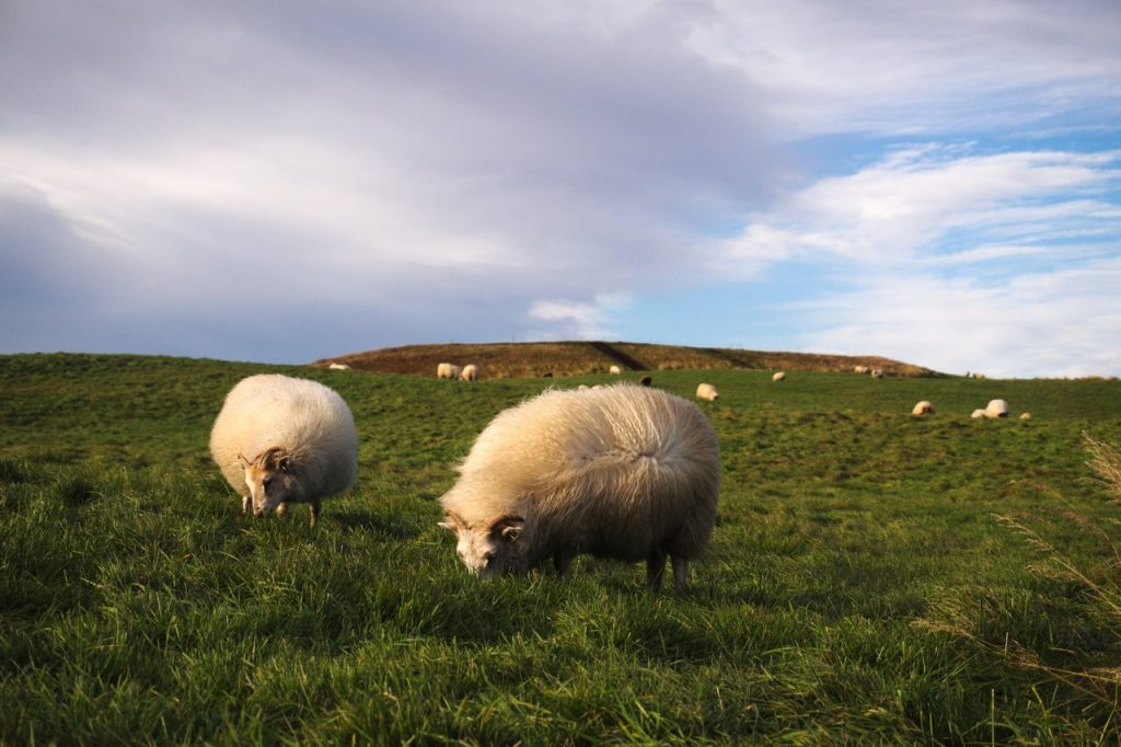 Schafe einer Farm am Mývatn